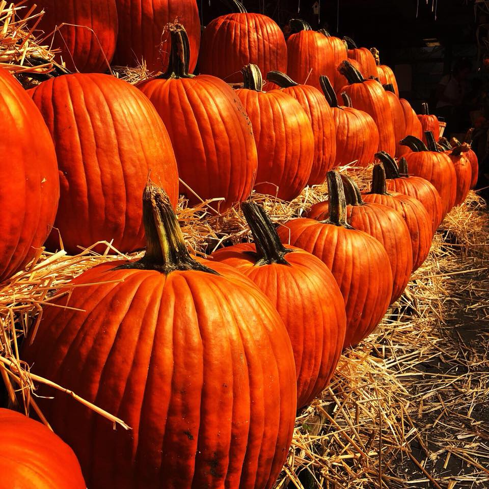Harvest Pumpkins at Tendercrop Farm