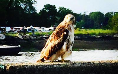 Hawk Totem Meaning (Spirit Animal)